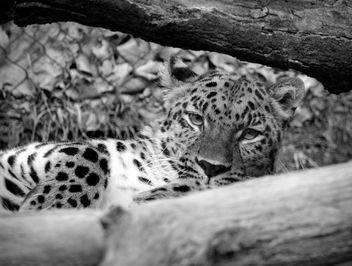 Leopard I - image gratuit #357869
