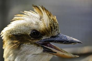 Laughing Kookaburra - image gratuit #359429