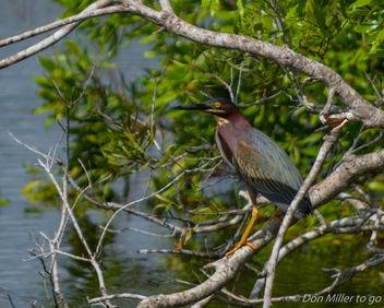 Green Heron - Free image #360779