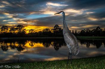 Solo Sandhill Crane - image gratuit #361699