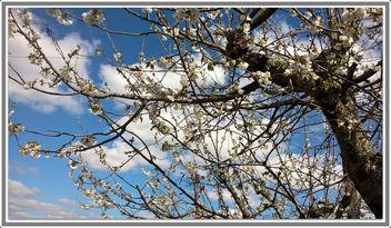 Cerisier en fleurs - Free image #362299