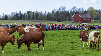 Cow Event - Free image #362369