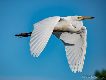 Great White Egret - image #362389 gratis