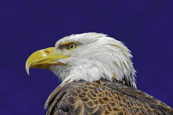 Bald Eagle Portrait - image #365089 gratis