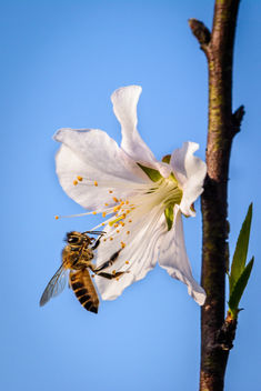 Bee on Cherry Blossom - Free image #367359