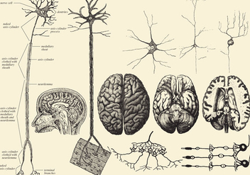 Brain And Neuron Drawings - Kostenloses vector #369699