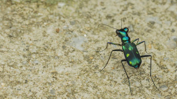 Metallic tiger beetle - Free image #372379