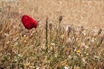 Poppy - Free image #375969