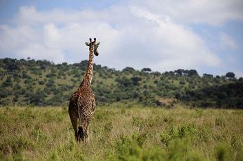 Giraffe, Masai Mara - image gratuit #376409