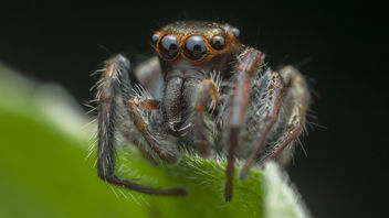 Jumping Spider - Free image #379849