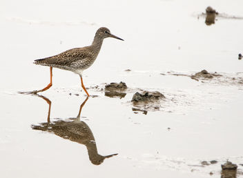 Redshank at the Eric Morecambe hide, Leighton Moss RSPB, Silverdale, Lancashire - image #381939 gratis