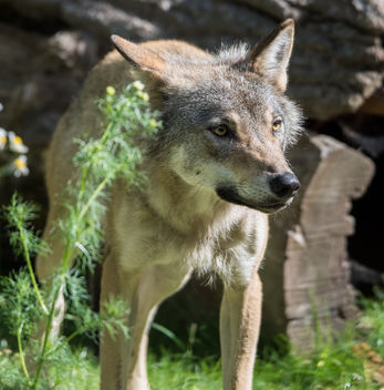 Wolf - Kostenloses image #381969