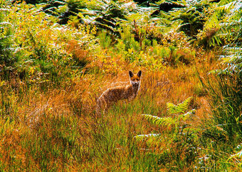 Young Fox at Ros Castle - image #381989 gratis