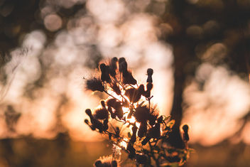 Thistle in sunset light - image #386929 gratis
