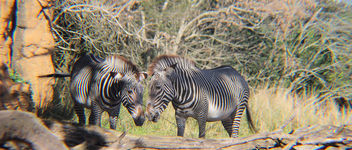 Zebra Love - Free image #389489