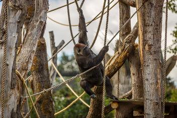Gorilla III - Free image #389819