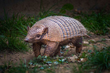Six-Banded Armadillo - image gratuit #391289