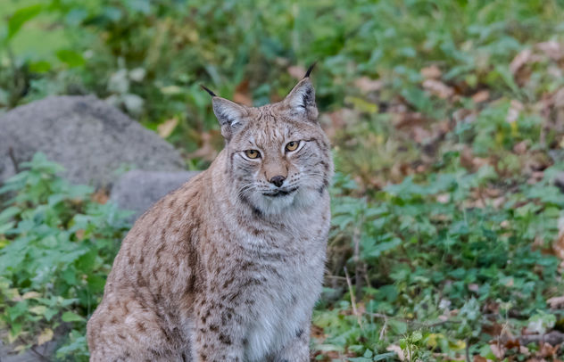 Lynx - Free image #392709