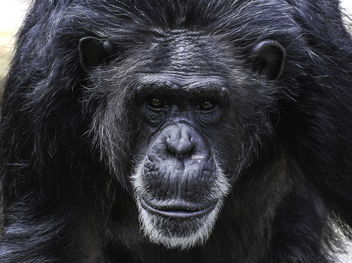 Chimpanzee Portrait - image gratuit #395489