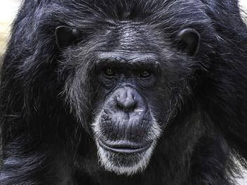 Chimpanzee Portrait - Free image #395489