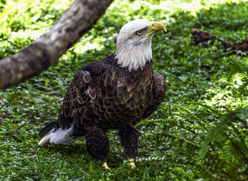 Bald Eagle - image #396519 gratis
