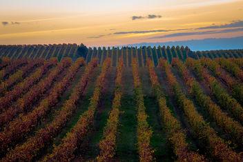 Vineyard in colors - Free image #396649
