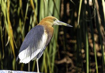 Javan Pond Heron - image gratuit #399199