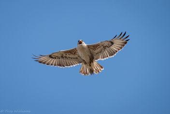 ferruginous hawk - Free image #403429