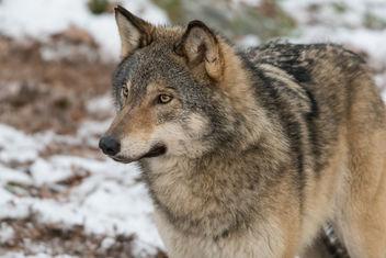 wolf-2 - Kostenloses image #405309