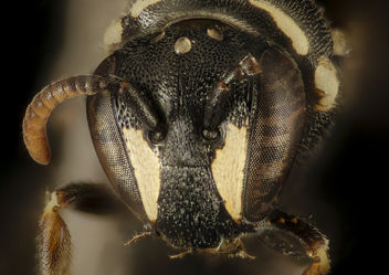 Hylaeus leptocephalus, f, face, Dorchester Co, MD_2016-02-09-12.35 - Kostenloses image #407959