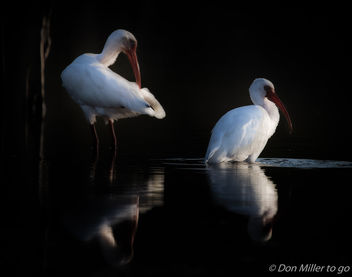 Ibis in the Evening - image #411409 gratis