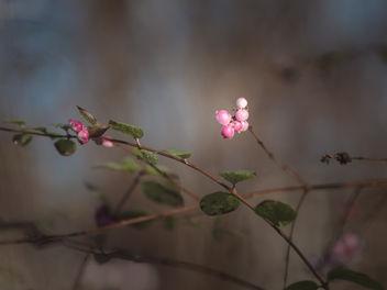 Pink berries - Free image #413029