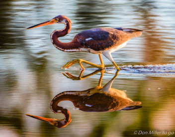 Tricolored Heron - Free image #413109