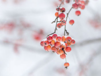 Winter berries - Free image #413159