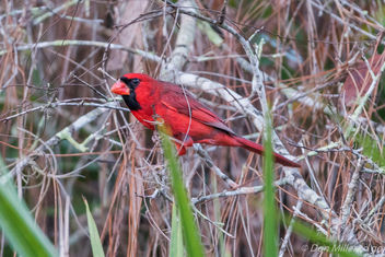 Male Cardinal - Kostenloses image #414019