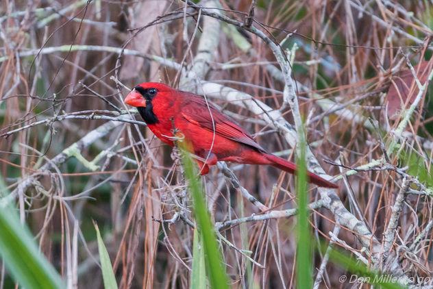Male Cardinal - image gratuit #414019