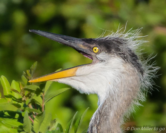 Great Blue Heron Chick - image gratuit #414169