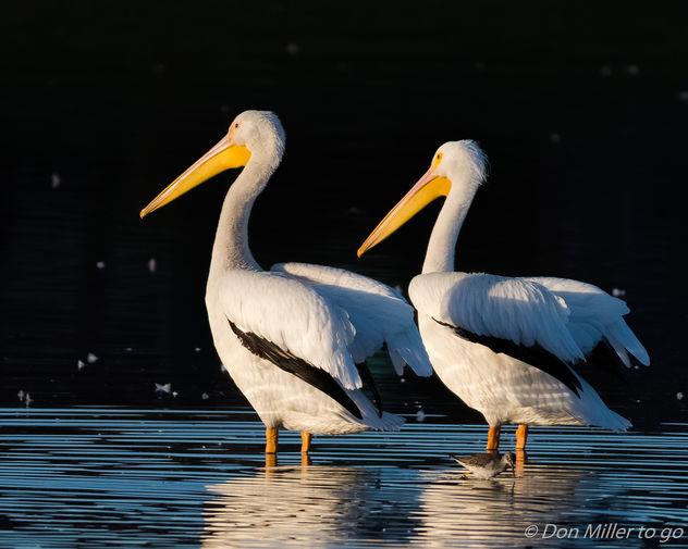 American White Pelicans - image gratuit #414569