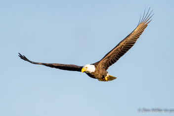 Bald Eagle - image gratuit #415309