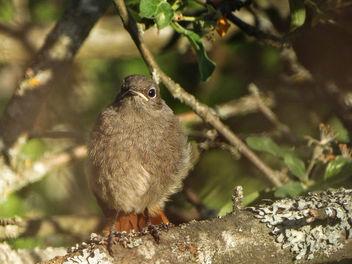 Common redstart (juvenile) // Phoenicurus phoenicurus - Kostenloses image #415659