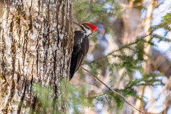 Pileated Woodpecker Centennial Park - image gratuit #416759