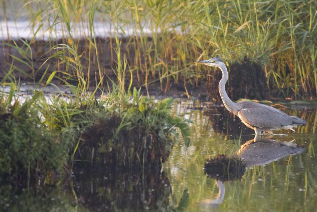 Grey Heron Ardea Cinerea, Czapla Siwa - бесплатный image #420609
