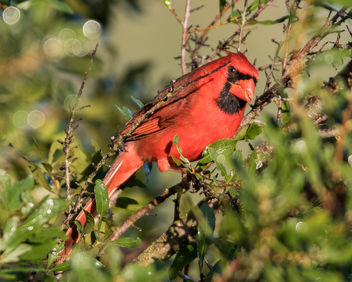 Male Cardinal - Kostenloses image #422479