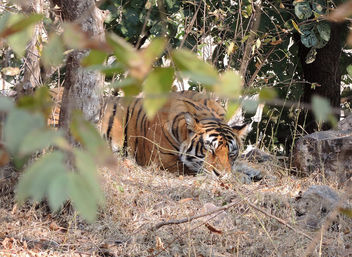 India (Ranthambhore National Park) Sleeping Bengal Tiger - Free image #424479