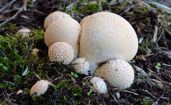 Lycoperdon pyriforme,(Pear shaped puffball) - бесплатный image #426949