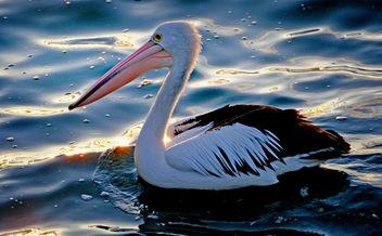 The Australian pelican - (Pelecanus conspicillatus) - Free image #426979