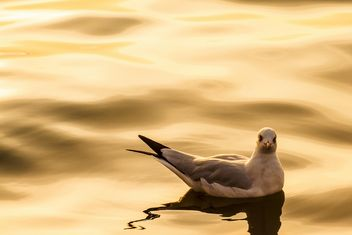 Seagull floating in the sea - image #136339 gratis