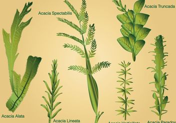 Type of Acacia Leaf Vectors - бесплатный vector #145529