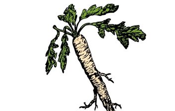 Salsify Food Plants Root clip art - Free vector #176769