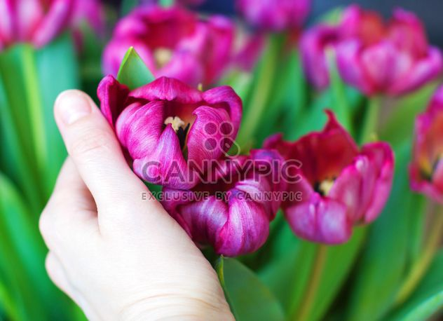 Pink tulips in hand - Free image #182699